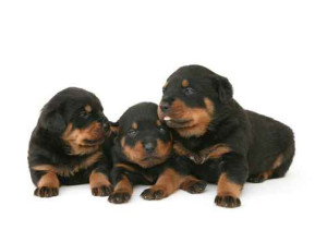 Richardson Veterinarians Puppies