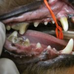dog's mouth before veterinary dental treatment