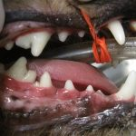dog's mouth after veterinary treatment